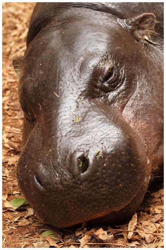Pygmy Hippopotamus - Kenyan Safari 2013