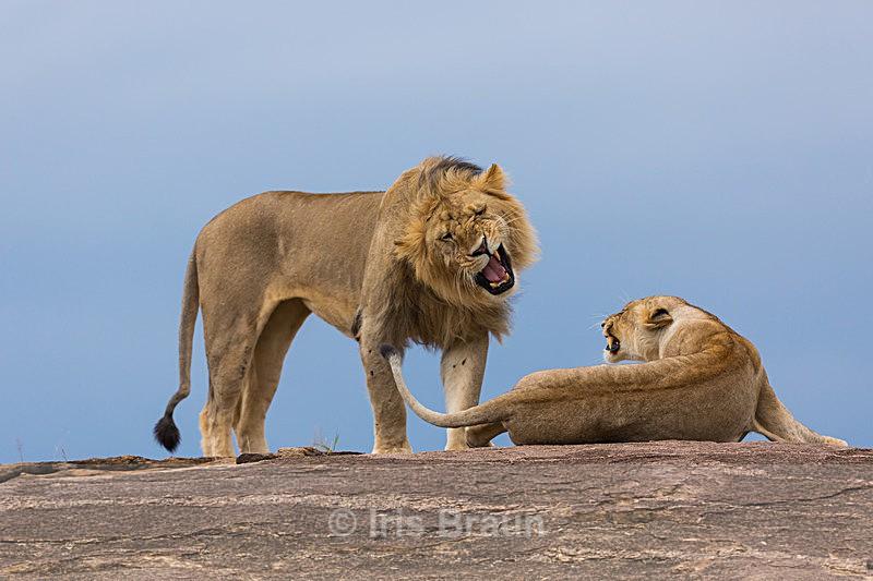 Tender Love - Lion