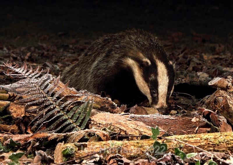 Badger (image Badg 002) - Mammals