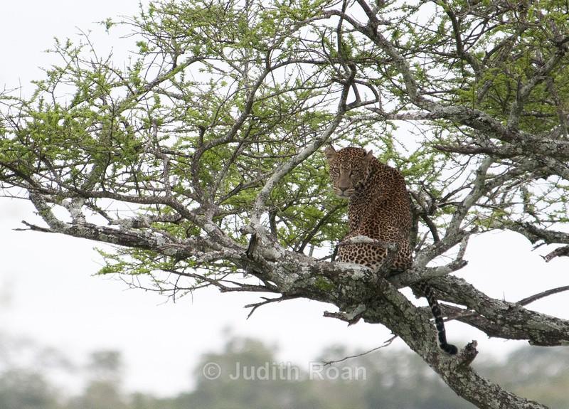 Leopard Female - Tanzania Birds and Mammals