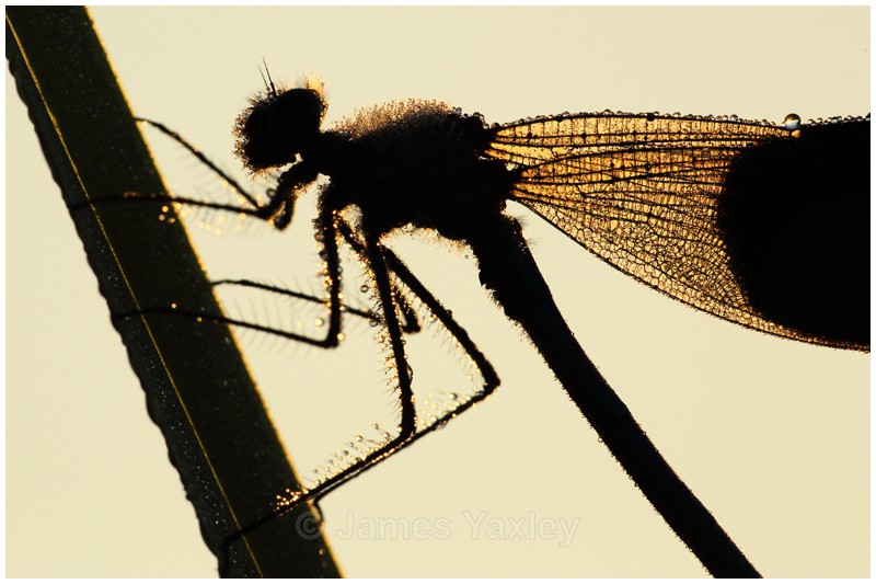 Dew Drop Demoiselle on Reed - Butterflies, Dragonflies and Demoiselles