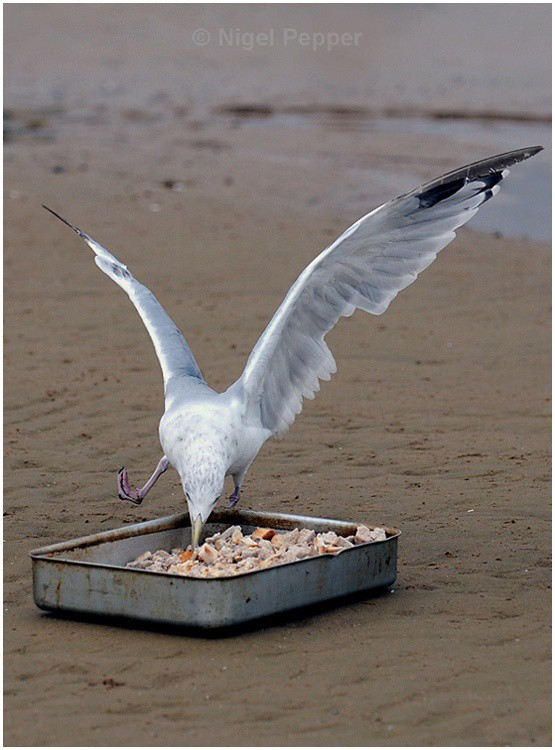 Breakfast is served ! - Leggy the Herring Gull