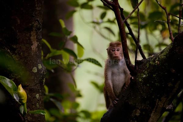 Macaque Monkey in Jungle in Ella Sri Lanka 7 - Sri Lanka wildlife, people & places
