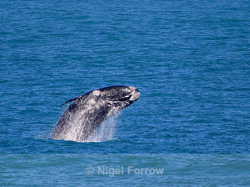 Breaching Southern Right Whale in Walker Bay, South Africa - Whale