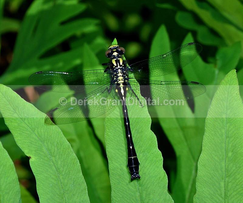 Mustached Clubtail Gomphus adelphus - Dragonflies of Atlantic Canada