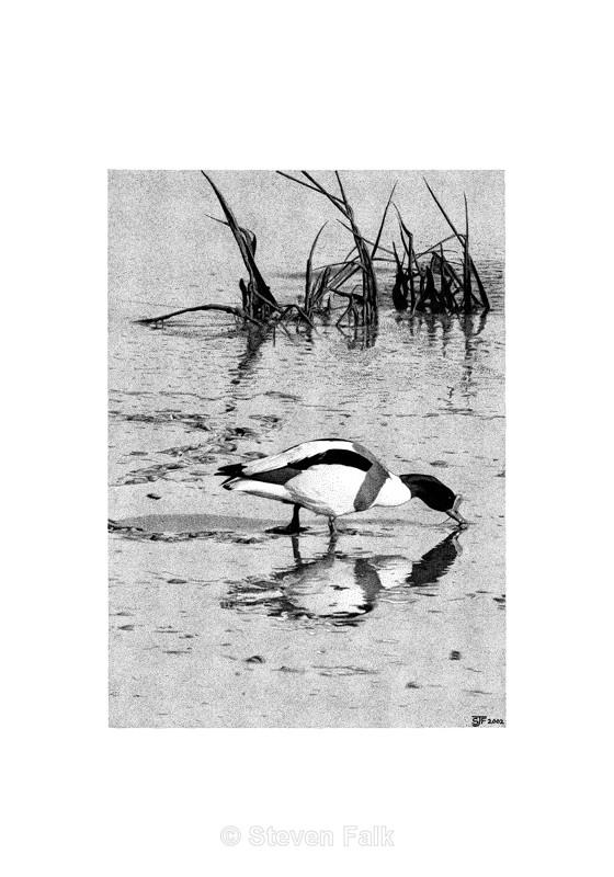 Suffolk Shelduck - Birds and Mammals