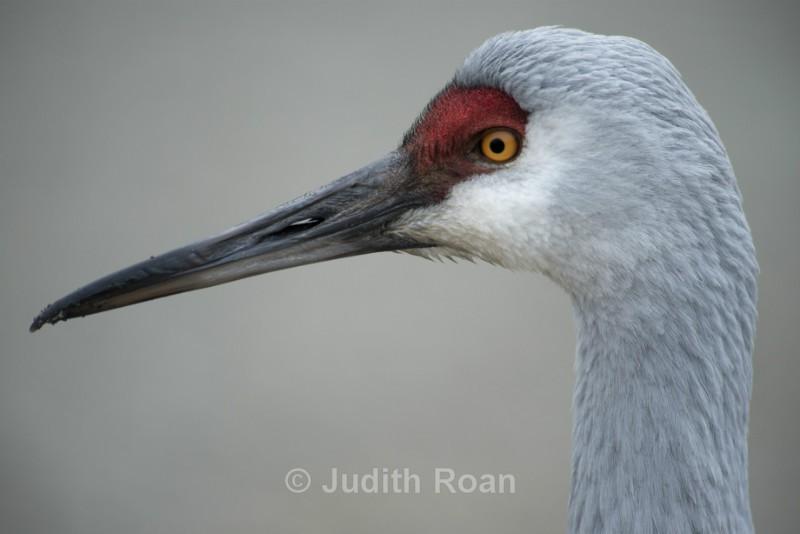 Sandhill Crane Profile - Reifel Refuge