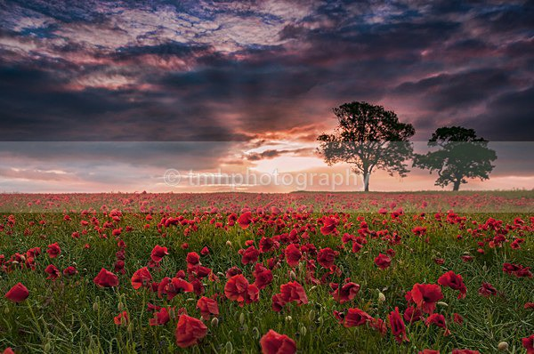 Poppies & Tree's - Yorkshire Countryside