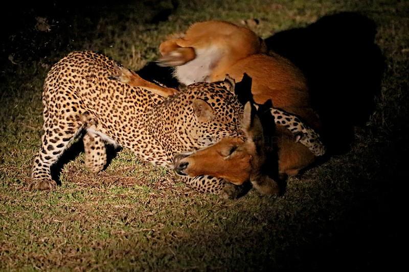 Leopard with prey - Big cats
