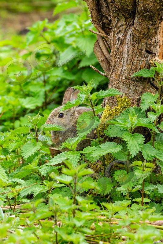 wild rabbit Oryctolagus cuniculus-3898 - UK Wildlife
