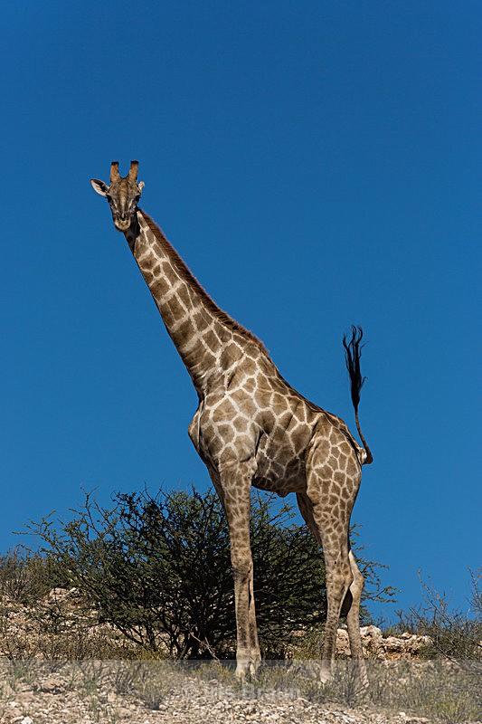 Standing Tall - Giraffe