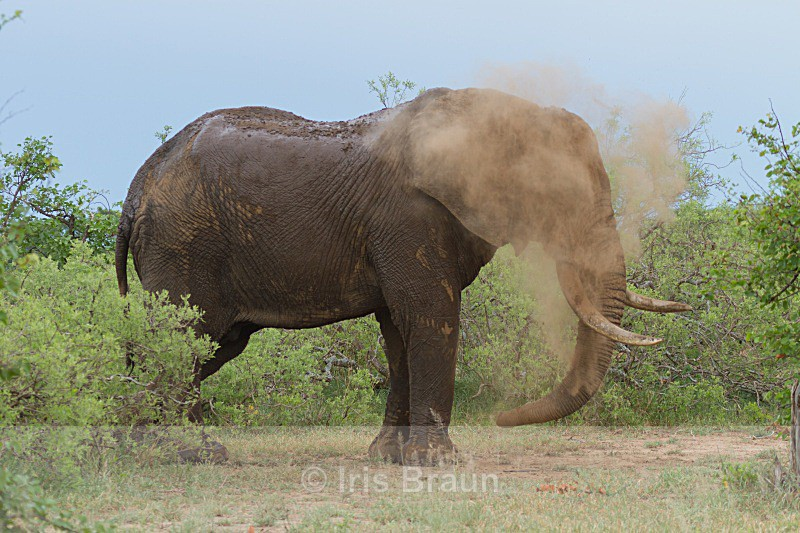 Dust shower - Elephant