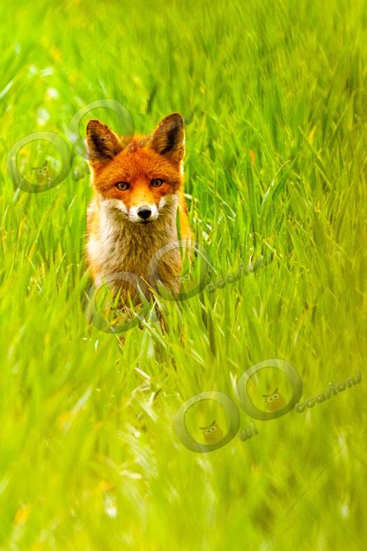 fox vulpes vulpes-4123 - UK Wildlife