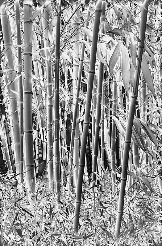 Bamboo-1595_3_4 Neg HDR - TREES, FLOWERS AND PLANT PHOTOS