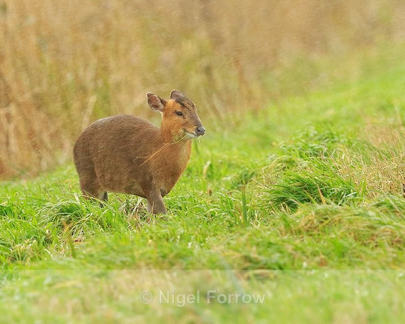 Muntjac Deer in heavy rain at Otmoor RSPB - Deer