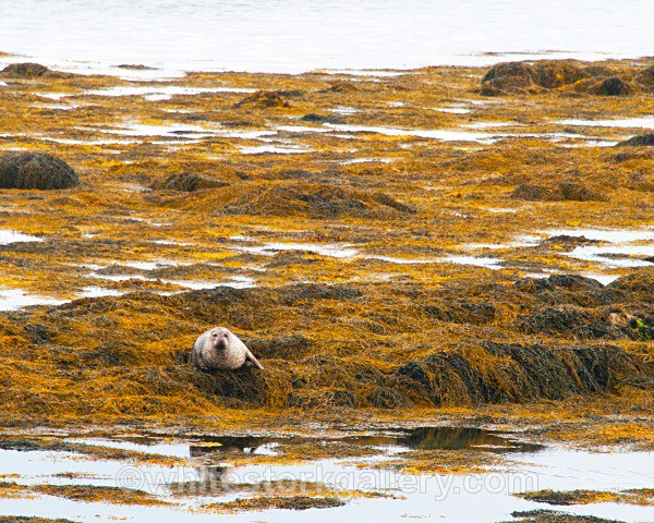 Grey Seal - Scottish Highlands