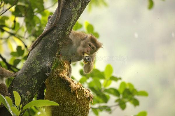 Macaque Monkey in Jungle in Ella Sri Lanka 22 - Sri Lanka wildlife, people & places