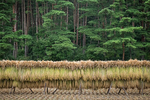 19 Drying Hand Cut Rice 1 - Autumn Rice