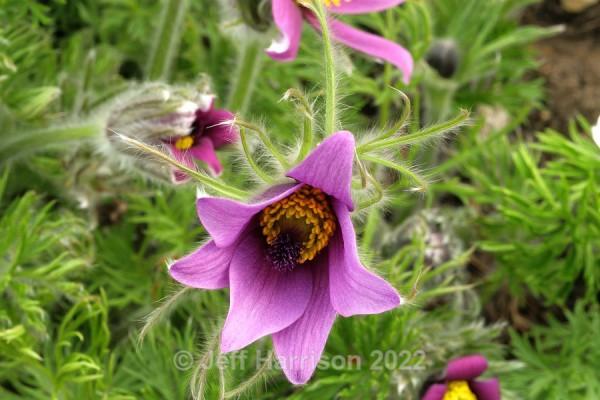 Pulsatilla - Purple (image Puls 02) - Trees, Plants, Flowers & Garden scenes