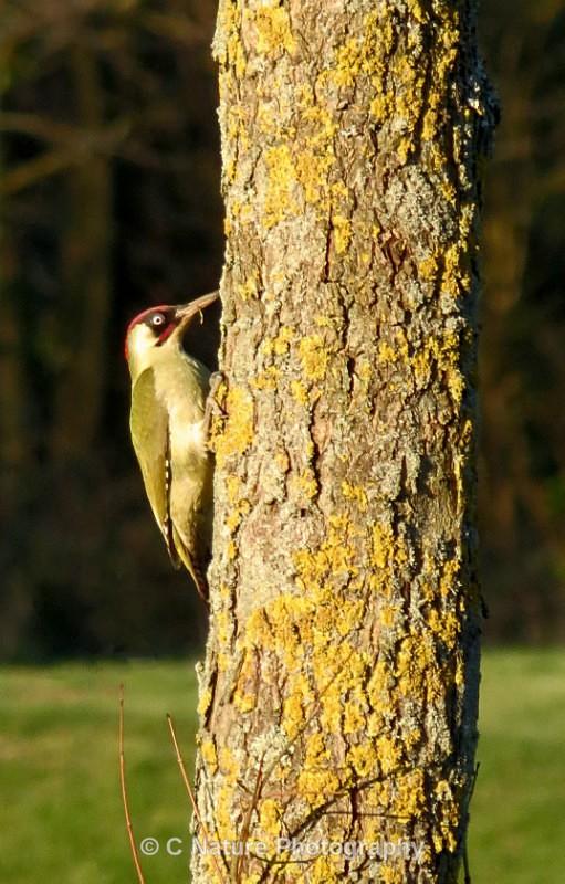 Green Woodpecker - Birds