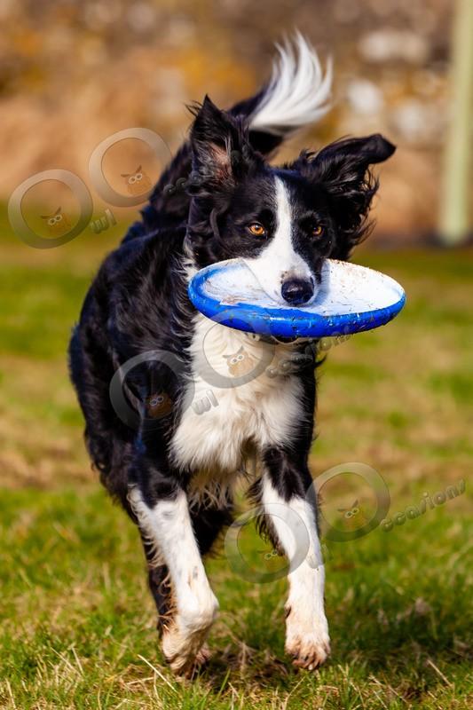 Collie dog_4890 - Pet Photography