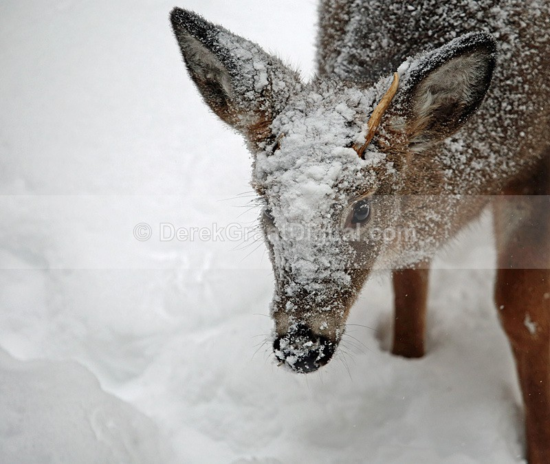 White Faced Whitetail - Winterscape
