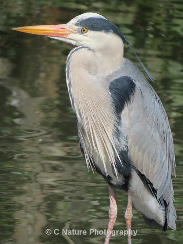 Grey Heron Portrait - Birds