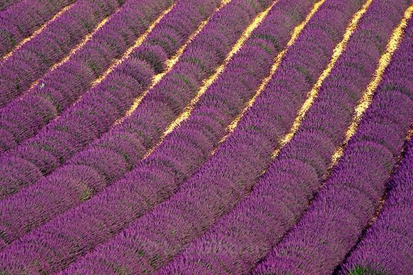 Lavender bushes2 - Provence
