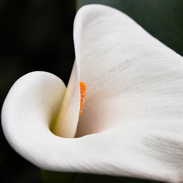 Arum Lily Centre - Plants and Flowers