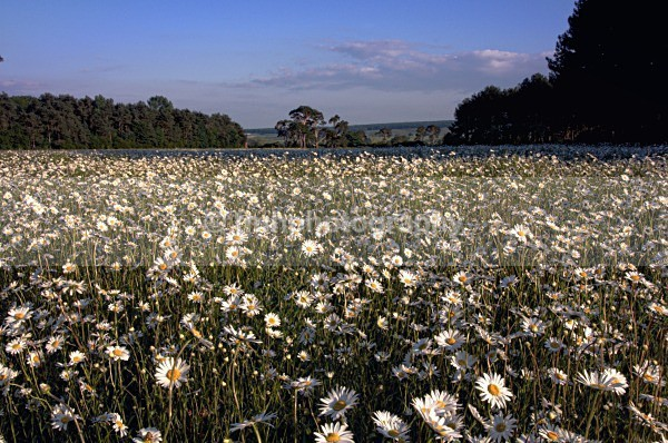 Scampston Daisys - Yorkshire Countryside