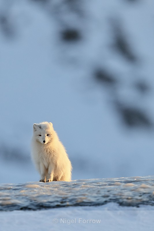 Arctic Fox sitting on ice, Svalbard, Norway - Arctic Fox