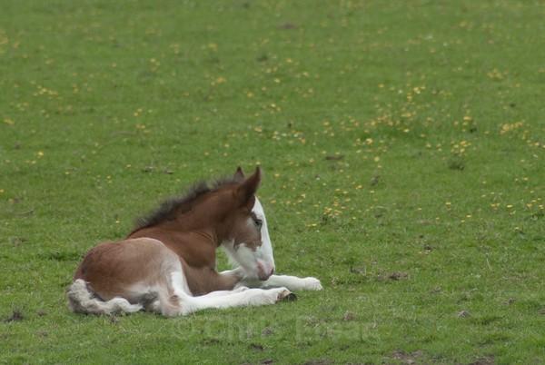 ryecroft-20 - Clydesdales 2013 Include Foals