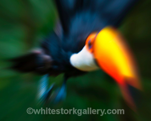 Toucan - Wildlife and Animals: Art
