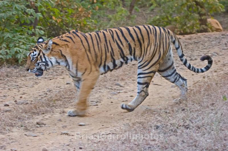 - Indian Tiger Safari Tour 08