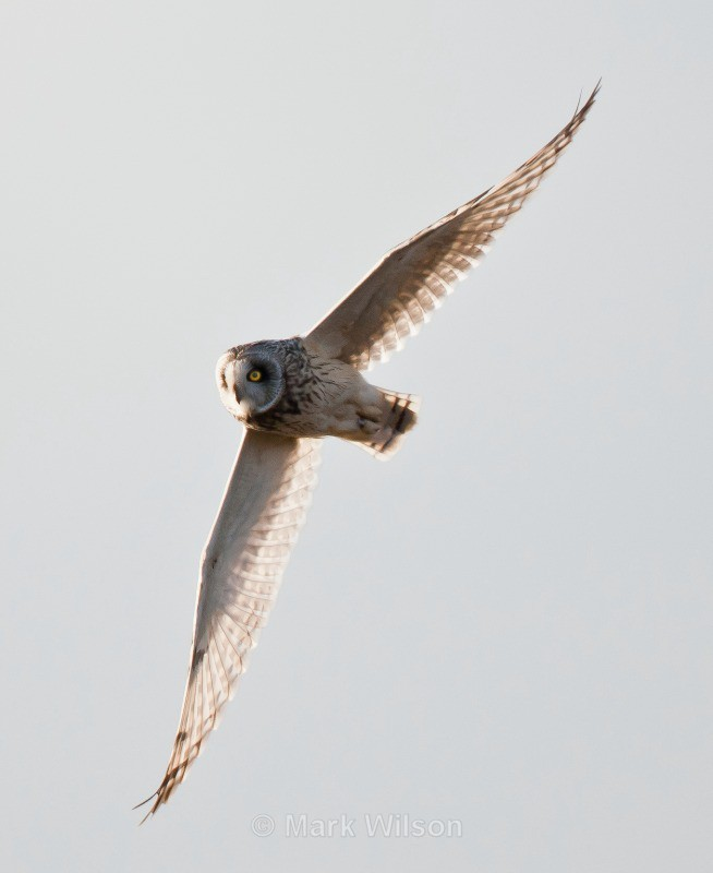 Short-eared Owl - Kerry Ridgeway, Mid-Wales - Birds of prey & owls