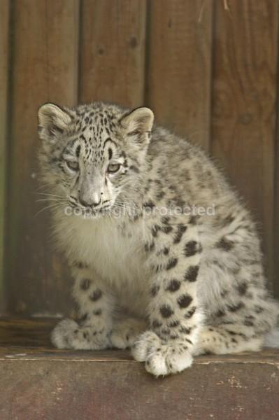 Snow Leopard Cub - Hara - Snow Leopards