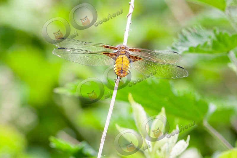 broad bodied Chaser-7095 - Insects from around the world