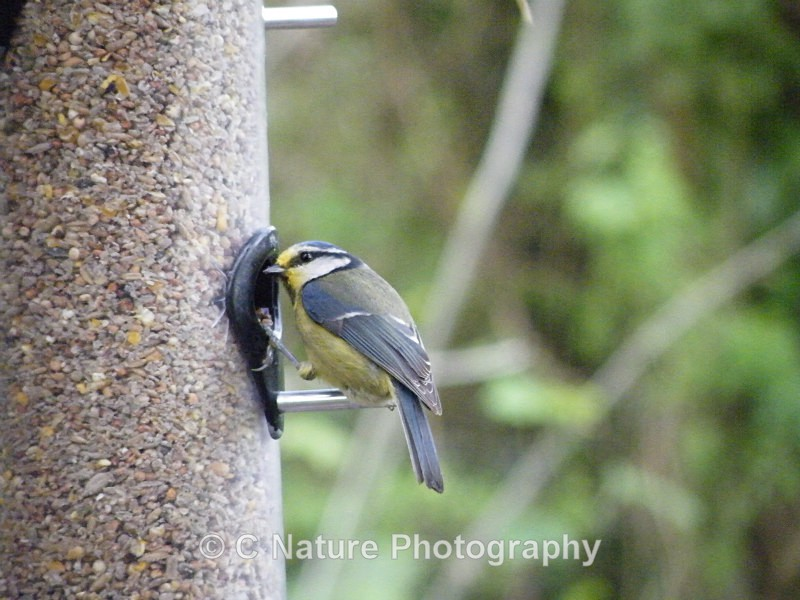 Blue Tit - Birds