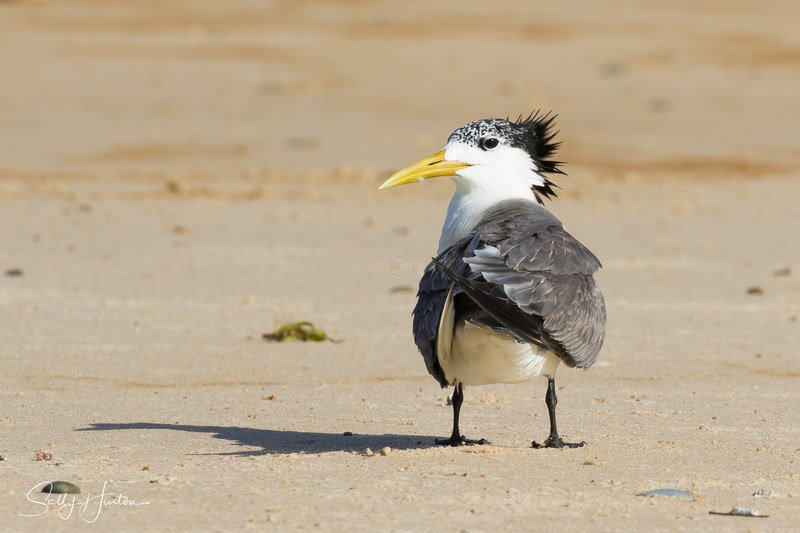 Portrait 2 - Crested Terns 2018 (For Sale)