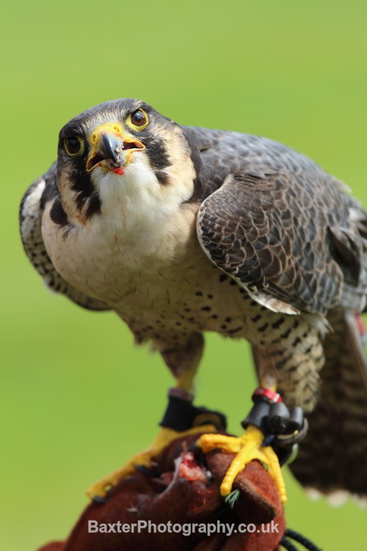 Peregrine Falcon - Miscellaneous