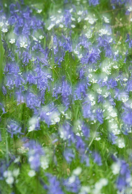 bluebells and daisies2 - Perthshire
