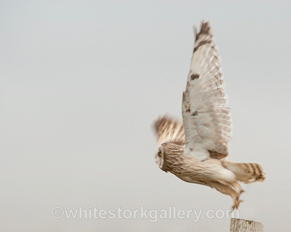 Short Eared Owl, Uist - Scottish Highlands
