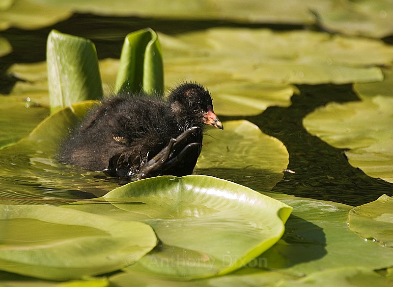 Moorhen - Latest Images