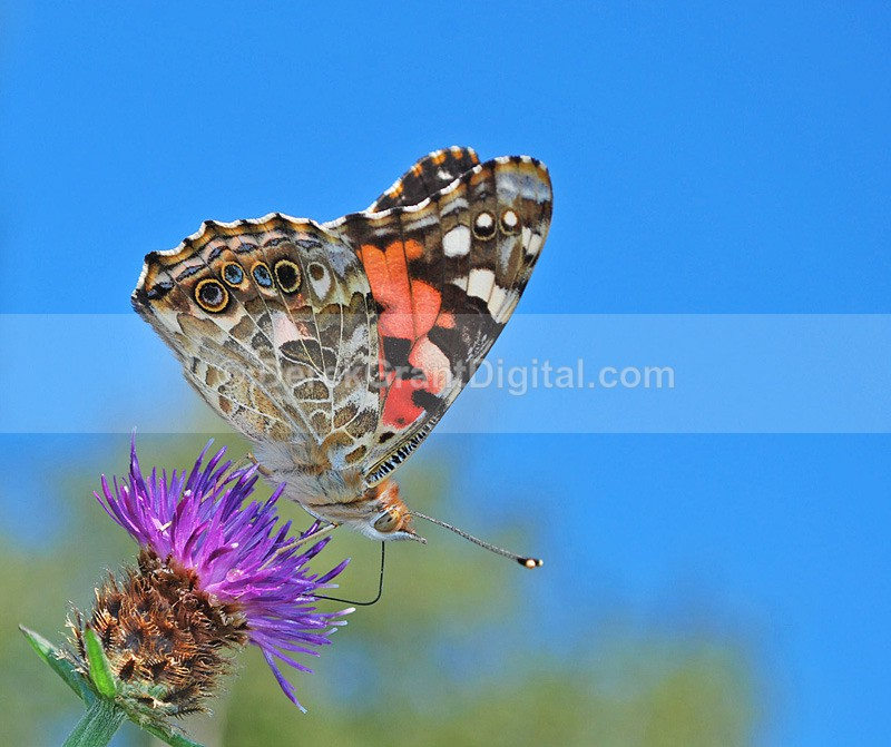 Painted Lady - 1 - Butterflies & Moths of Atlantic Canada