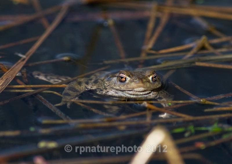 Common Toad - Bufo bufo RPNP0045 - Amphibians & Reptiles