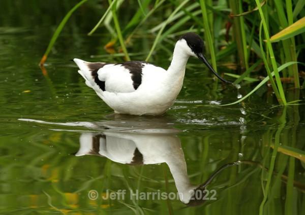 Avocet (image Av 02) - Waders, Gulls & Seabirds