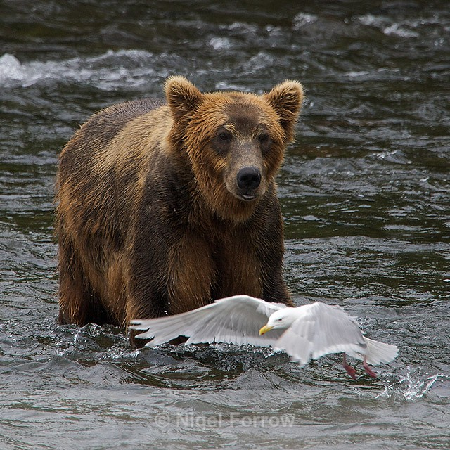 Grizzly Bear chases off a Glaucous-winged Gull - Brown Bear