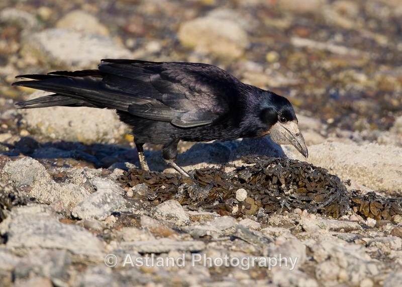 Astland Photography, Bird and Wildlife Images, Susan and Peter Wilson, U.K.