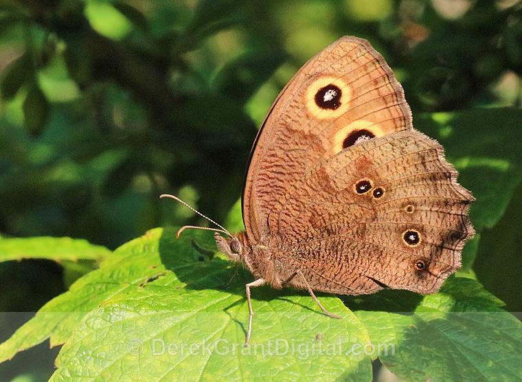 Common Wood-Nymph - 1 - Butterflies & Moths of Atlantic Canada