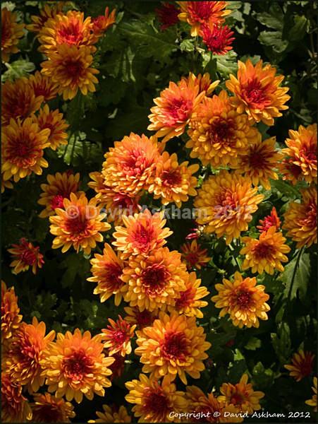 Chrysanthemums - Leica Digilux 2